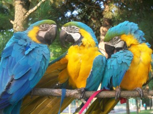 The three parrots for peace